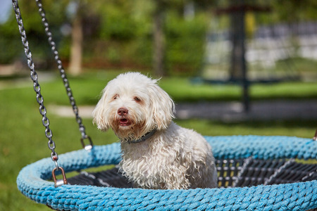 White havanese dog sitting on a blue childrens swing on a playground