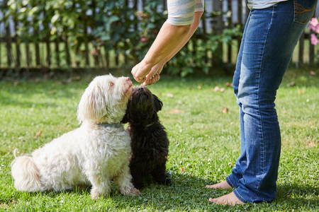 havanese: Woman training a white and black havanese dog in the garden