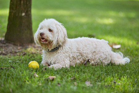 havanese: White havanese dog lying in the green grass of the park