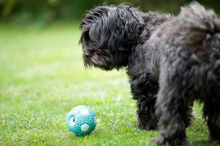 Havanese dog playing with a ball on the grass in the garden Stock Photo