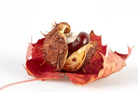 horse chestnut seed: Isolated brown chestnut on a red maple leaf on white background