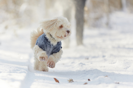 Havanese dog running and playing in the snow in winter