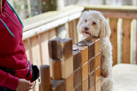 Clever havanese dog taking cookie from pile of wood Stock Photo