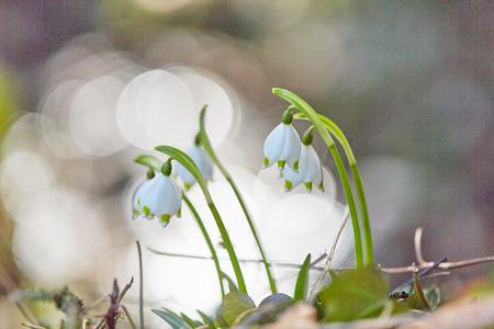 Snowdrop flower in spring in nature in bright sunlight