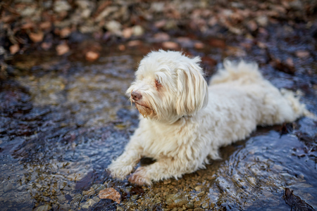 Havanese dog lying in little river in the woods Stock Photo