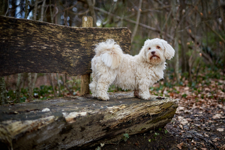 Black and white havanese dog sitting on a wooden bench in the forest