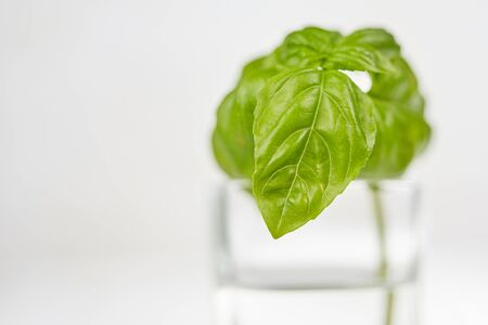 Baslil in glas water op witte geïsoleerde lijst Stockfoto