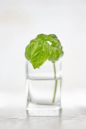 Geïsoleerd basilicum in glas van water op witte houten lijst