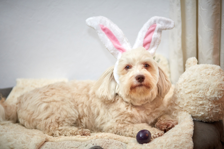 Havanese dog with funny easter bunny ears