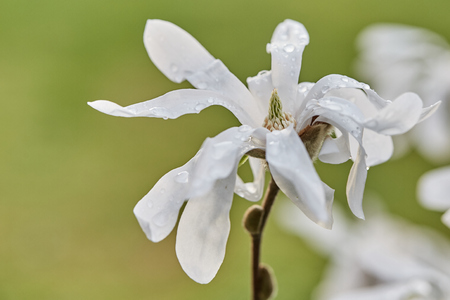 Blossom flowers of white magnolia tree in spring with water drops