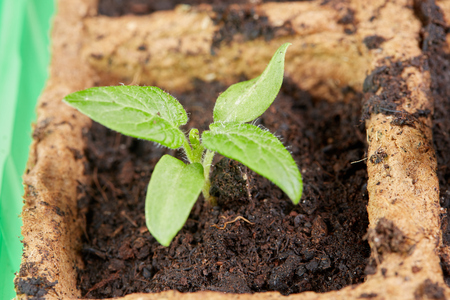 Growing tomato seedlings young plants at home Stock Photo