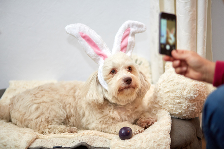 Taking photo of Havanese dog with funny easter bunny ears with smartphone mobile phone