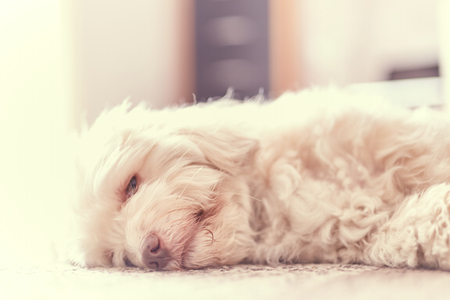 Havanese dog snoozing on the carpet on the floor in the living room in high key