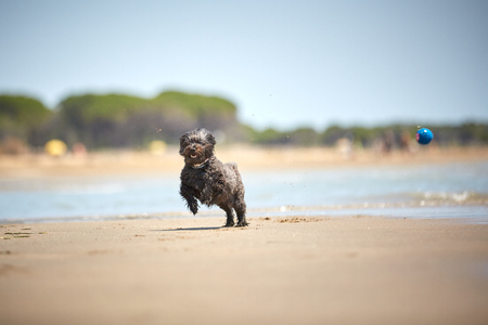 Back havanese dog playing with blue ball on the beach with water in the sun 스톡 콘텐츠