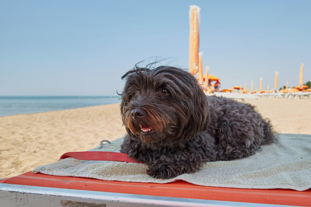 Black havanese dog lying on a sun lounger bed at the beach