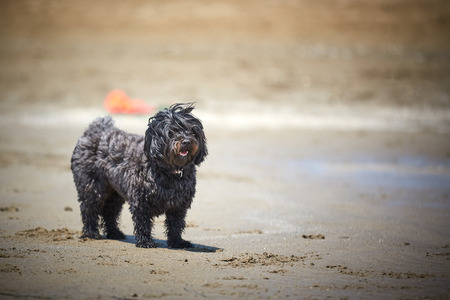 Black havanese dog running on the beach in the midday sun Stock Photo