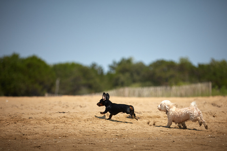 Havenese dogs and dachshound playing on the beach shore at the ocean water Stock Photo