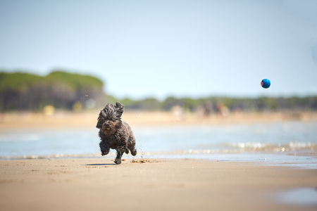 Back havanese dog playing with blue ball on the beach with water in the sun Stock Photo