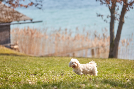 White havanese dog standing in the meadows at lake Attersee in Nussdorf Dickau