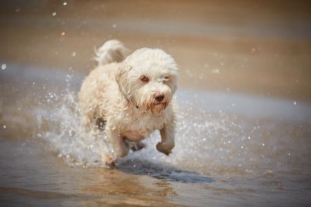 White havanese dog running on the beach on the ocean with water
