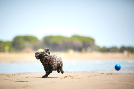 Back havanese dog playing with blue ball on the beach with water in the sun Stock Photo - 100297874