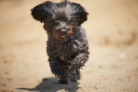 Black havanese dog running on the beach in the midday sun 스톡 콘텐츠