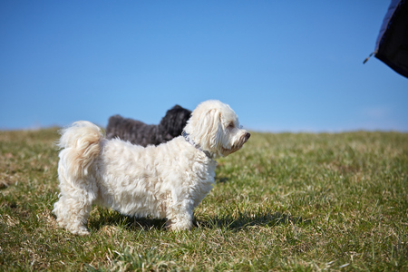 Black and white havanese dog in the gras of the meadows in the sun looking and waiting