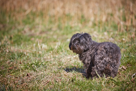 Blackhavanese dog in the gras of the meadows in the sun looking and waiting 스톡 콘텐츠