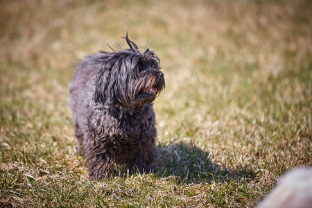 Blackhavanese dog in the gras of the meadows in the sun looking and waiting Stock Photo