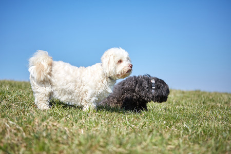 Black and white havanese dog in the gras of the meadows in the sun looking and waiting Stock Photo - 100288207