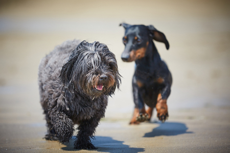 Havenese dogs and dachshound playing on the beach shore at the ocean water 스톡 콘텐츠