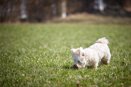 White havanese dog playing in the meadows grass field park garden