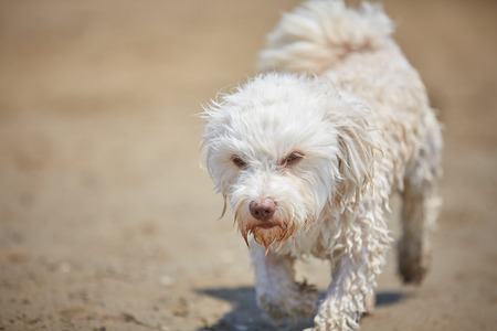 White havanese dog at the beach and ocean with water looking