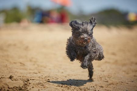 Black havanese dog running on the beach in the midday sun Stock Photo