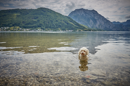 White havanese dog lying in lake Traunsee in Gmunden Salzkammergut