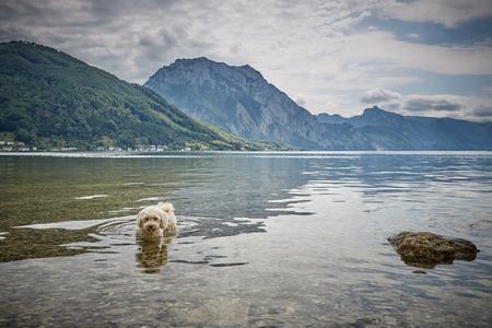 White havanese dog lying in lake Traunsee in Gmunden Salzkammergut Stock Photo - 100288866