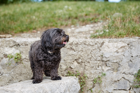 Black havanese dog sitting in dog waiting and looking Stock Photo