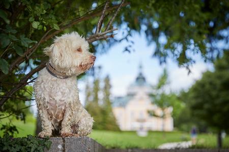 White havanese dog a lake Traunsee in Toskana park in Gmunden Salzkammergut Stock Photo