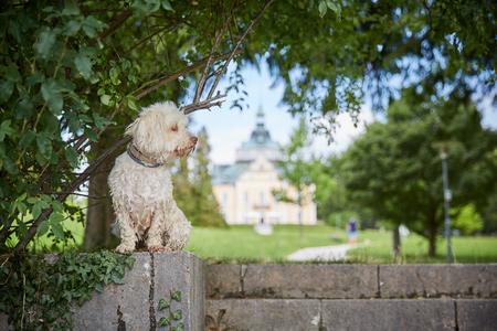 White havanese dog a lake Traunsee in Toskana park in Gmunden Salzkammergut 스톡 콘텐츠