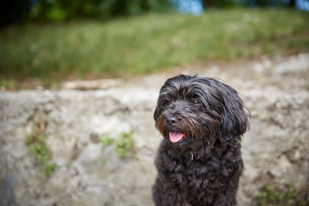 Black havanese dog sitting in dog waiting and looking Stock Photo - 100282655