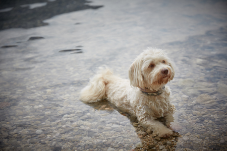 White havanese dog lying in water of lake Traunsee in Gmunden