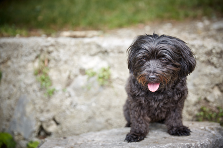 Black havanese dog sitting in dog waiting and looking 스톡 콘텐츠