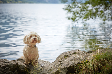 Havanese dog standing at water and looking to someone