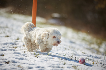 White havanese dog playing with red ball in the snow Stock Photo - 126328904