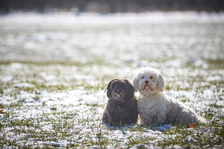 Havanese dog obedient waiting and looking outside in the snow Stock Photo - 126328906