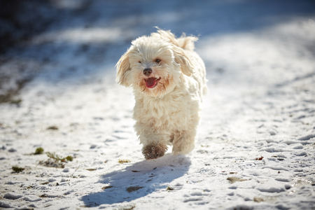Havanese dog playing in the snow with ball Stock Photo - 126328908