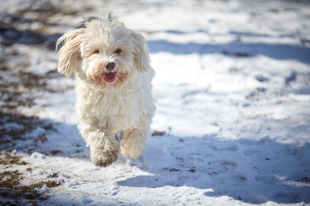 Havanese dog playing in the snow with ball Stock Photo - 126328910