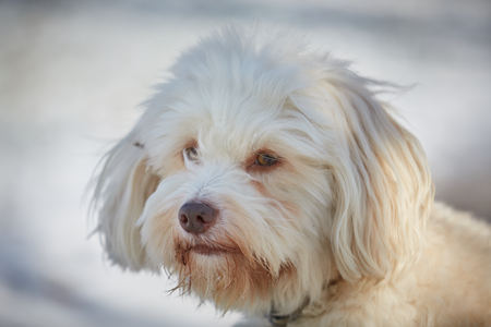 Havanese dog obedient waiting and looking outside in the snow 스톡 콘텐츠