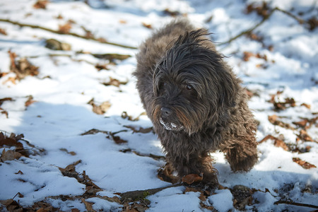 Havanese dog playing in the snow with ball Stock Photo - 126328913