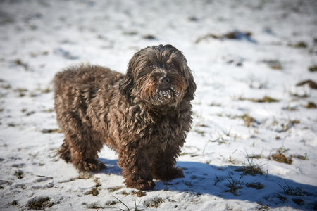Havanese dog obedient waiting and looking outside in the snow Stock Photo